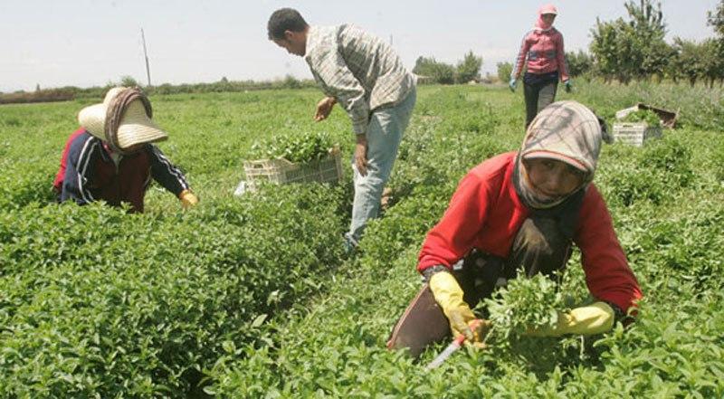 بلغت المساحات المزروعة بالمحاصيل الطبية والعطرية بالحسكة للموسم الحالي 8100 هكتار
